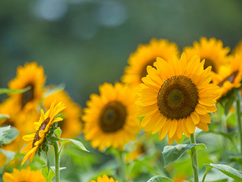 August in Birmingham News Image 350x263 - Sunflowers