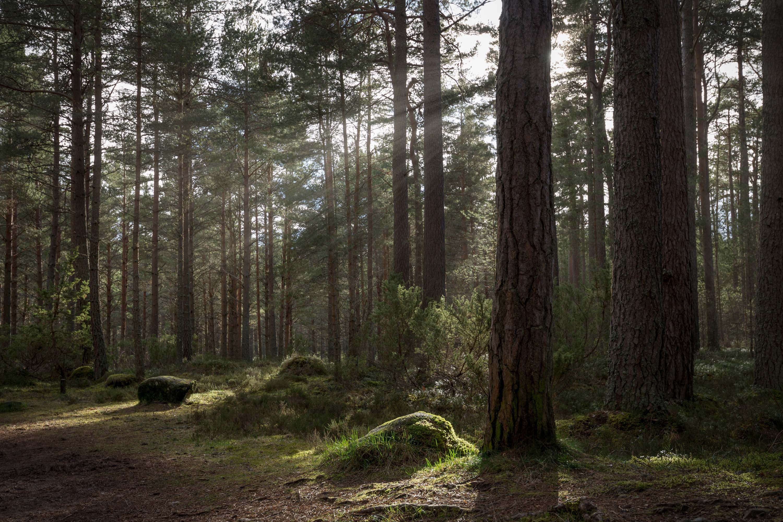 Through Pine