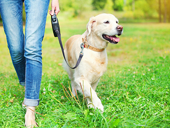 BLSS Dog Park News Image 350x263 - Labrador in park