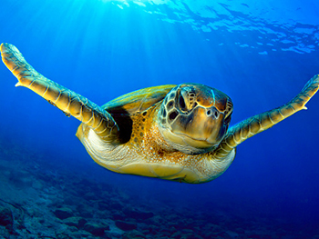 Centre for American Legal Studies Environmental Regulation Page Image 350x263 - Turtle swimming